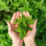 Зелені аромати в парфумерії