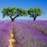 Амбровые (Лавандовые) ароматы в парфюмерии