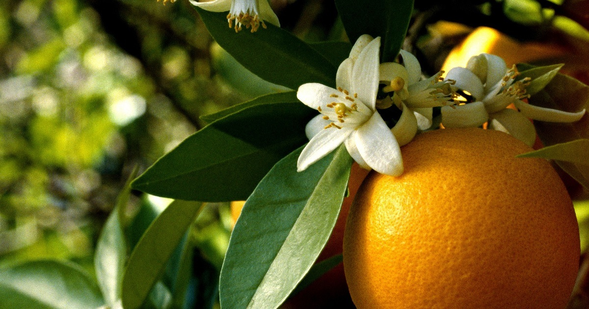 Read more about the article Апельсиновая феерия в парфюмерных нотах